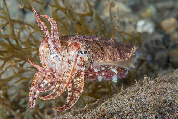 Photograph - Broadclub Cuttlefish by Andrew J Martinez