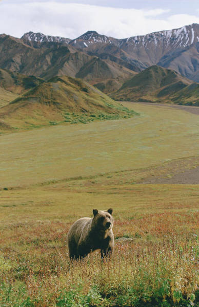 Wall Art - Photograph - Brown Grizzly Bear In Denali National by Cary Anderson