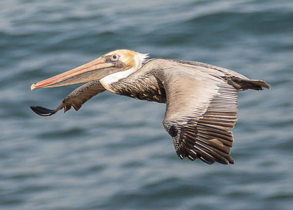 Photograph - Brown Pelican Flying 2 by Lee Kirchhevel