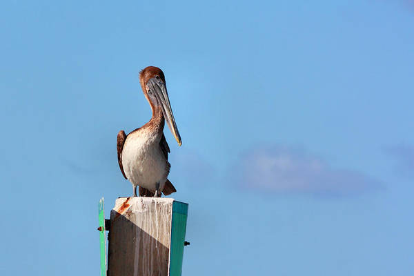 Photograph - Brown Pelican-3 by Rudy Umans