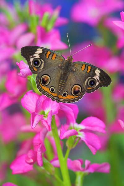 Buckeye Butterfly Wall Art - Photograph - Buckeye Butterfly With Eyespots by Darrell Gulin