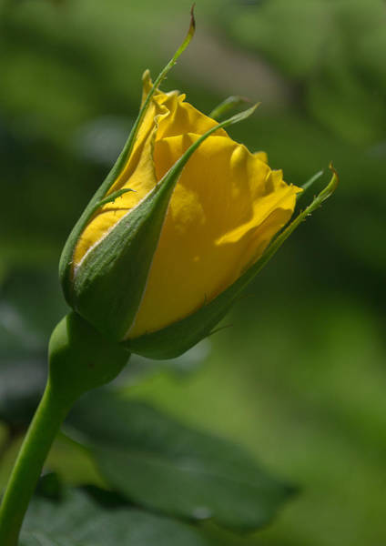 Photograph - Budding by Rima Biswas
