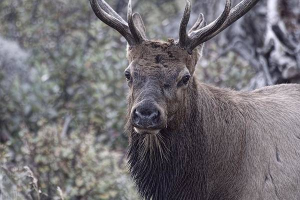 Wall Art - Photograph - Bull Elk by Diane Jensen