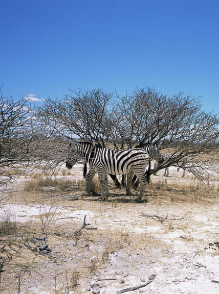 Wall Art - Photograph - Burchells Zebra by Sinclair Stammers/science Photo Library