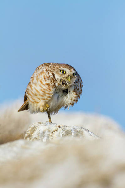 Hidalgo Photograph - Burrowing Owl (athene Cunicularia by Larry Ditto