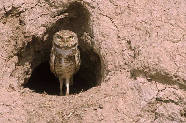 Wall Art - Photograph - Burrowing Owl by Craig K. Lorenz