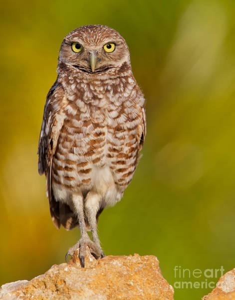 Photograph - Burrowing Owl by Joshua Clark