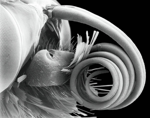 Skipper Photograph - Butterfly Eye And Proboscis by Dennis Kunkel Microscopy/science Photo Library