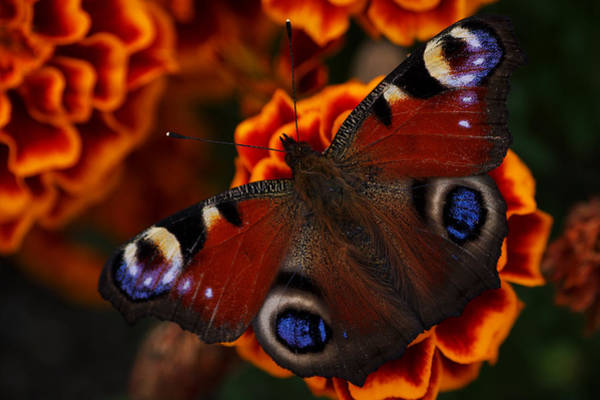 Photograph - Butterfly by Ivan Slosar