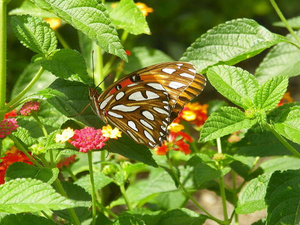 Photograph - Butterfly by Lisa Wooten