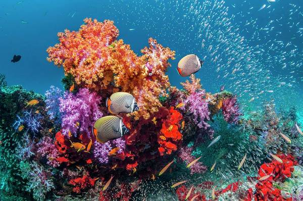 Wall Art - Photograph - Butterflyfish And Soft Corals On A Reef by Georgette Douwma/science Photo Library