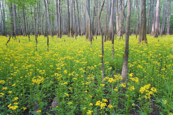 Bald Cypress Photograph - Butterweed Blooming In Congaree by Jeffrey Lepore