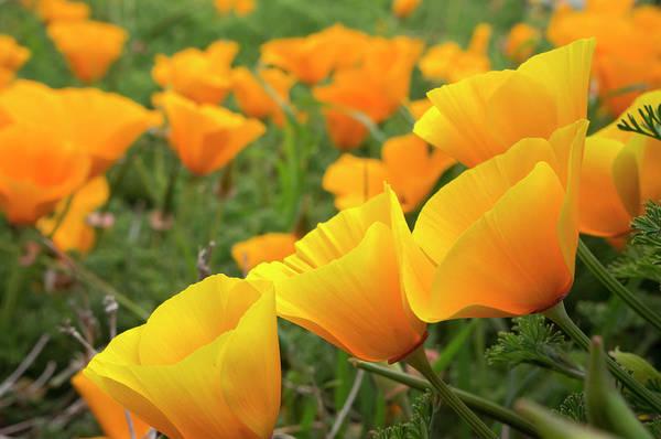 California Poppy Photograph - California Poppies In Montana De Oro by Rob Sheppard