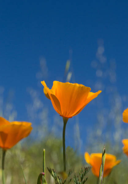 Photograph - California Poppy by Rima Biswas