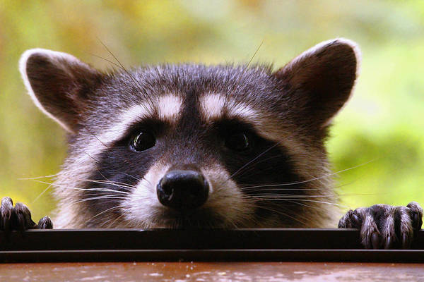 Raccoons Photograph - Can You See Me Now? by Kym Backland
