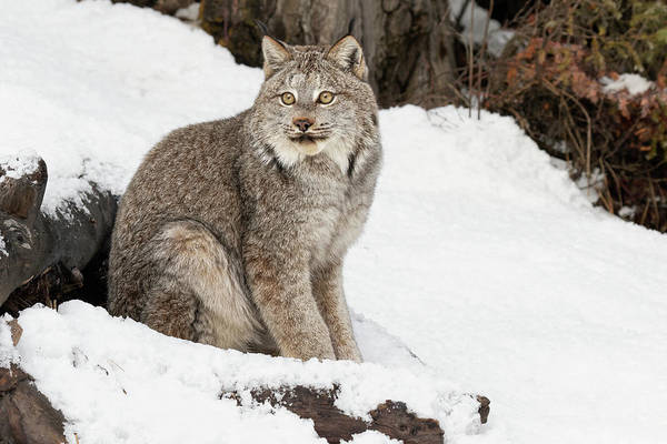 Wall Art - Photograph - Canada Lynx In Winter, Montana by Adam Jones