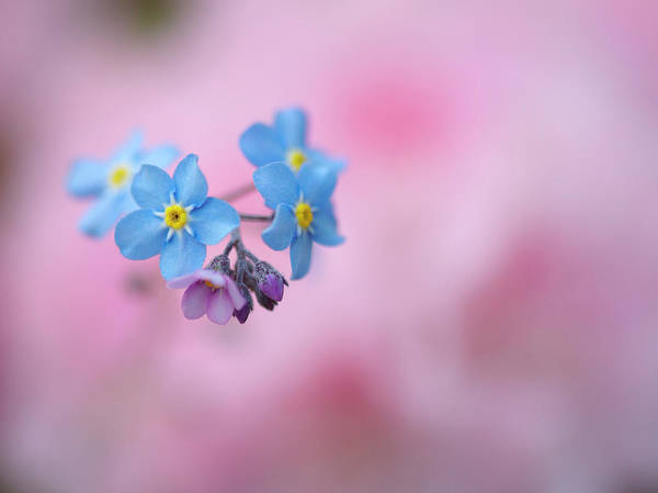 Forget Me Not Photograph - Canada, New Brunswick by Jaynes Gallery