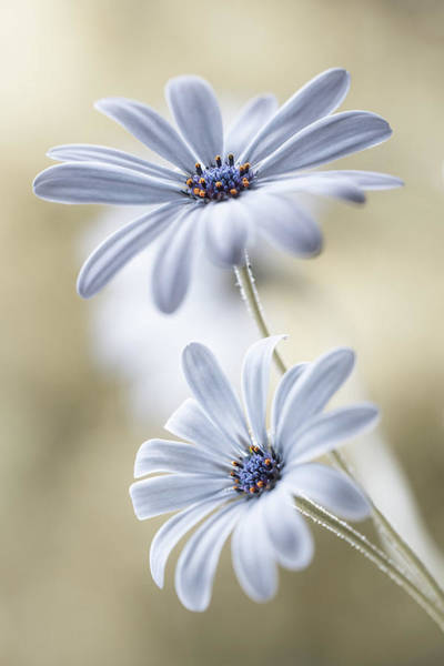 Macro Photograph - Cape Daisies by Mandy Disher
