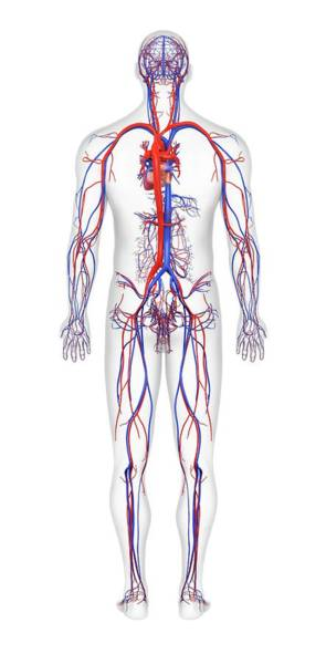 Superior Vena Cava Photograph - Cardiovascular System by Medi-mation/science Photo Library