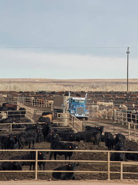Feedlot Photograph - Cattle Feedlot by Jim West