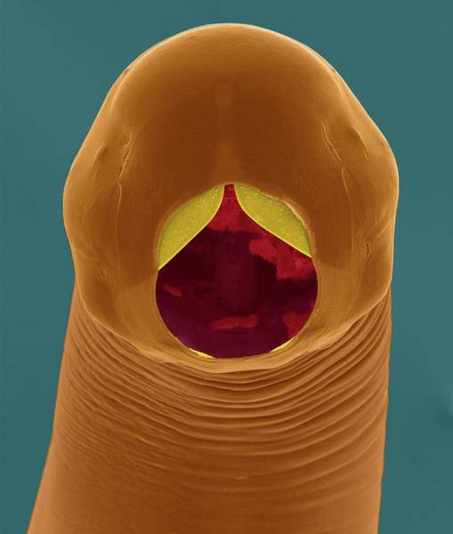 Buccal Wall Art - Photograph - Cattle Hookworm (bunostomum Phlebotomum) by Dennis Kunkel Microscopy/science Photo Library