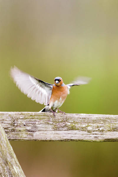 Finch Photograph - Chaffinch by John Devries/science Photo Library