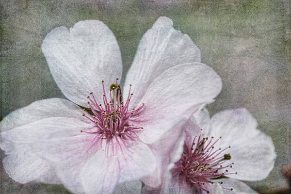 Photograph - Cherry Blossoms by Theo O'Connor