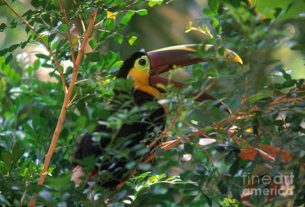 Ramphastidae Photograph - Chestnut-mandibled Toucan by Art Wolfe