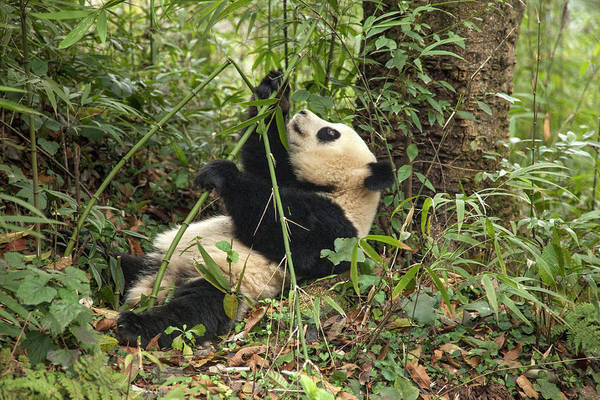 Bamboo Photograph - China, Chengdu Panda Base by Jaynes Gallery