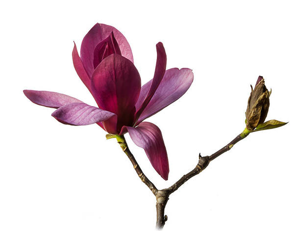 Photograph - Chinese Magnolia by Endre Balogh