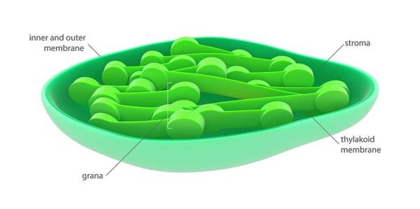 Organelle Photograph - Chloroplast by Science Photo Library