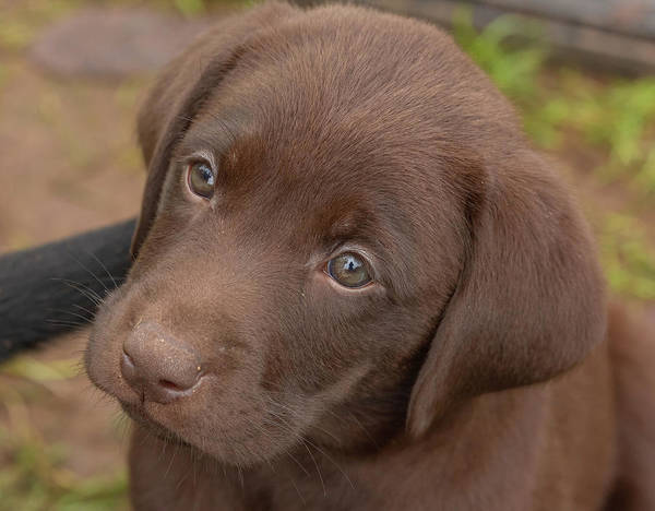 Wall Art - Photograph - Chocolate Labrador Retriever Puppy by Linda Arndt