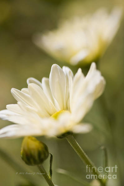 Photograph - Chrysanthemum Flowers by Richard J Thompson