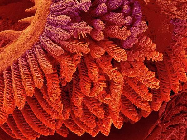 Cichlid Fish Gills Art Print