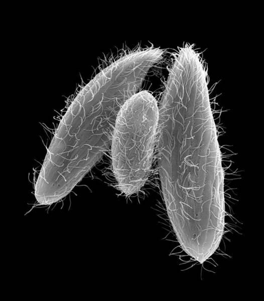 Buccal Wall Art - Photograph - Ciliated Protozoan (tetrahymena Vorax) by Dennis Kunkel Microscopy/science Photo Library