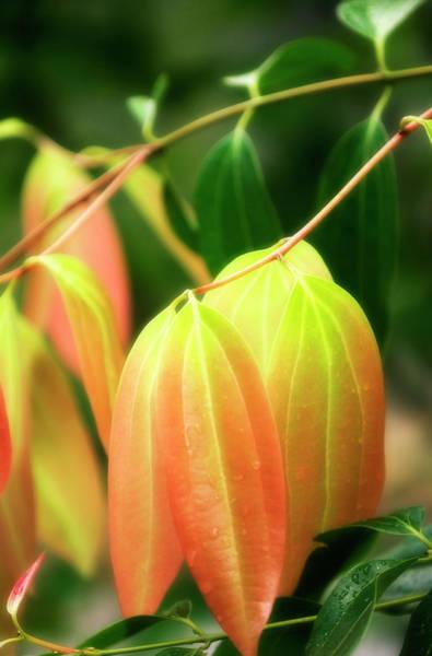 Laurel Photograph - Cinnamon Leaves (cinnamomum Verum) by Maria Mosolova/science Photo Library