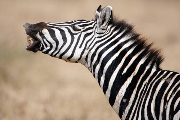 Tarangire Photograph - Close-up Of A Burchells Zebra Equus by Panoramic Images