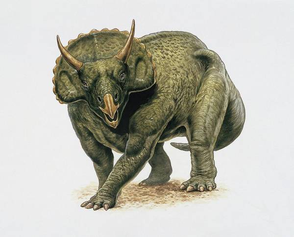 Diceratops Photograph - Close-up Of A Dinosaur by Deagostini/uig/science Photo Library
