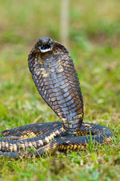 Grass Snake Photograph - Close-up Of An Egyptian Cobra Heloderma by Panoramic Images