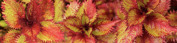 Wall Art - Photograph - Close-up Of Coleus Leaves by Panoramic Images