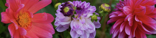 Wall Art - Photograph - Close-up Of Dahlia Flowers Blooming by Panoramic Images