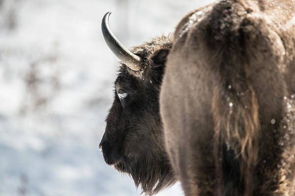 Paysage Photograph - Close Up Of European Bison Bison by Raffi Maghdessian