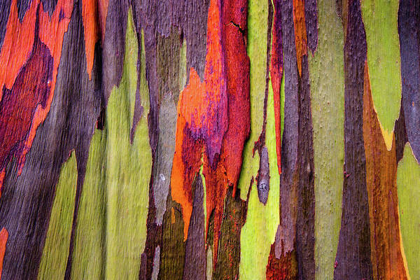 Wall Art - Photograph - Close-up Of Rainbow Eucalyptus by Panoramic Images