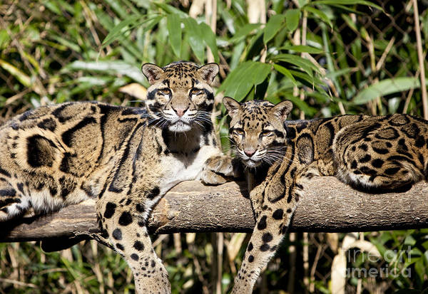 Art Print featuring the photograph Clouded Leopards by Brian Jannsen