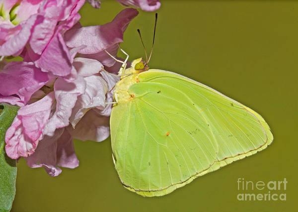 Sulfur Butterfly Wall Art - Photograph - Cloudless Sulphur Butterfly by Millard H. Sharp
