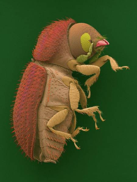 Pest Wall Art - Photograph - Coffee Berry Borer by Dennis Kunkel Microscopy/science Photo Library