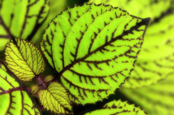 Wall Art - Photograph - Coleus (solenostemon Scutellarioides) by Maria Mosolova/science Photo Library