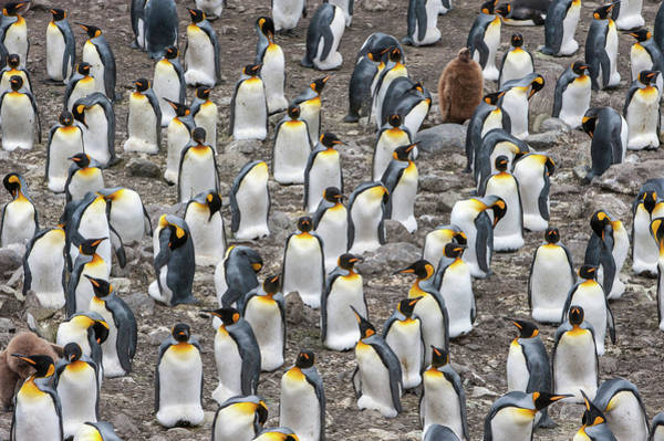 Wall Art - Photograph - Colony Of King Penguins, Aptenodytes by Tom Murphy