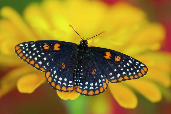 Zinnia Wall Art - Photograph - Colorful Baltimore Checkered Spot by Darrell Gulin