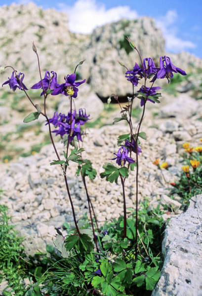 Wall Art - Photograph - Columbine (aquilegia Viscosa) by Bruno Petriglia/science Photo Library